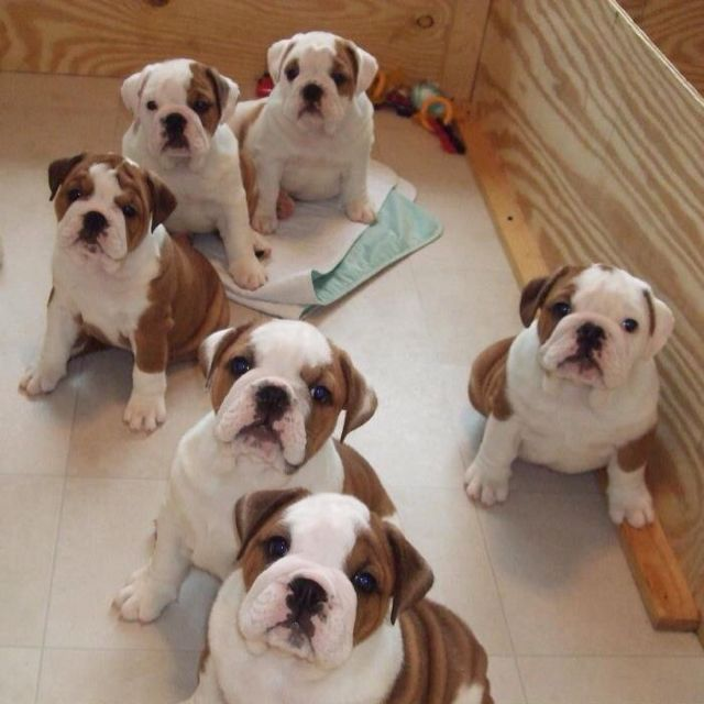 baby english bulldogs bulldogs pinterest