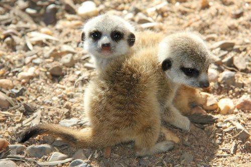 Meerkat cubs