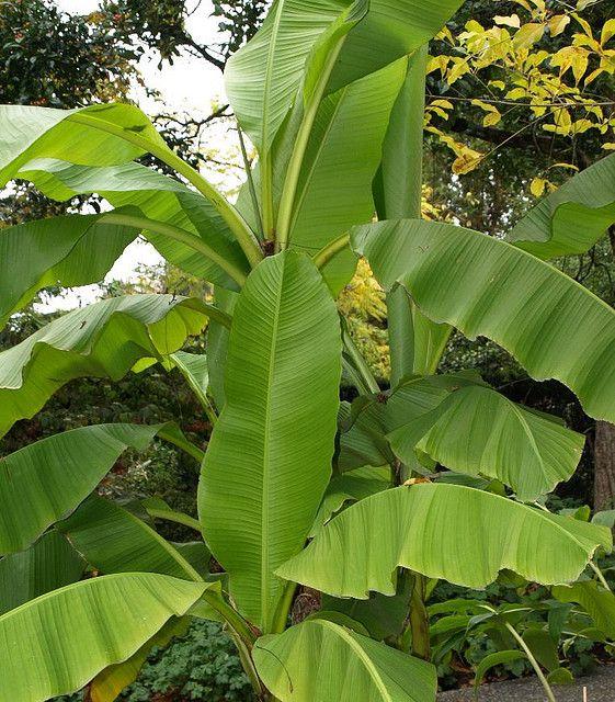 banana leaf plant i think banananananana pinterest