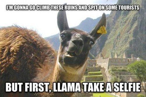 llama selfie, llama funny, llama spit on tourists