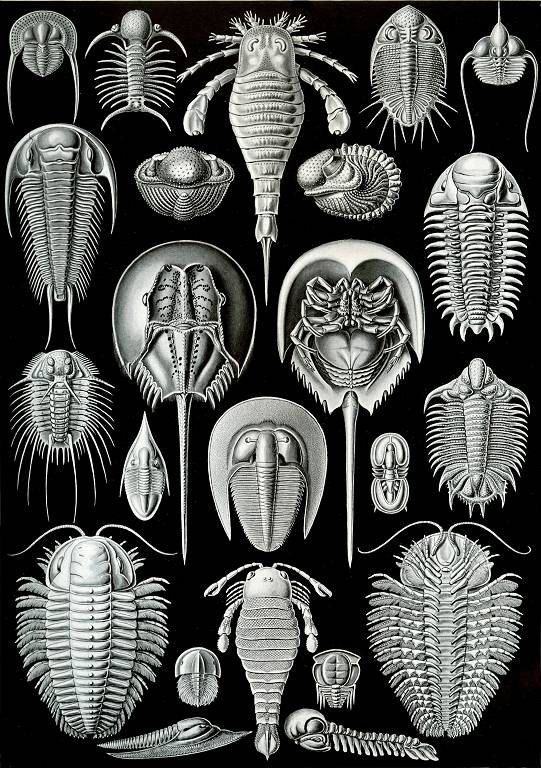 Haeckel Aspidonia Horseshoe Crab Trilobite You Print Digital ImageTrilobite Illustration