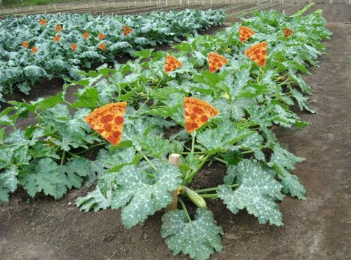 Pizza plant friponneries pinterest for Plants to grow in garden