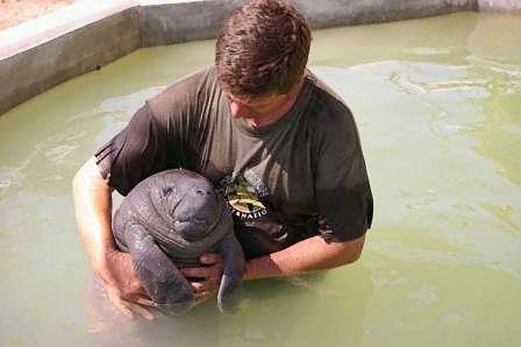 Cute Baby Manatee at the Belize Manatee Rehabilitation ...