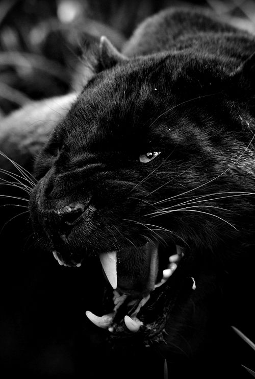 Angry black jaguar - photo#11
