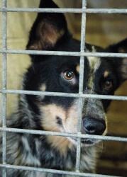 Tennessee Australian Shepherd Rescue  ADOPTIONS