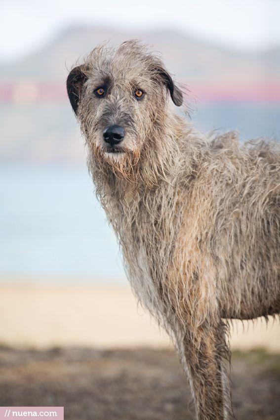 L'Irish Wolfhound C7e5fa7d8ad5e7cb9fcdca5e8c0290c1