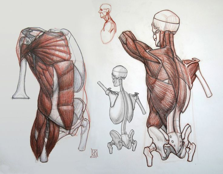Anatomy in drawing