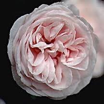 Souvenir de la Malmaison -  climbing rose. So beautiful.