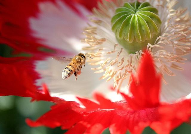 Honeybee on Papaver 'Danebrog