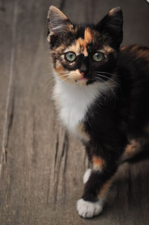 Show Me Pictures Of A Calico Cat