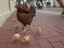 Free-roaming chicken family as typically seen on the streets of Key West.