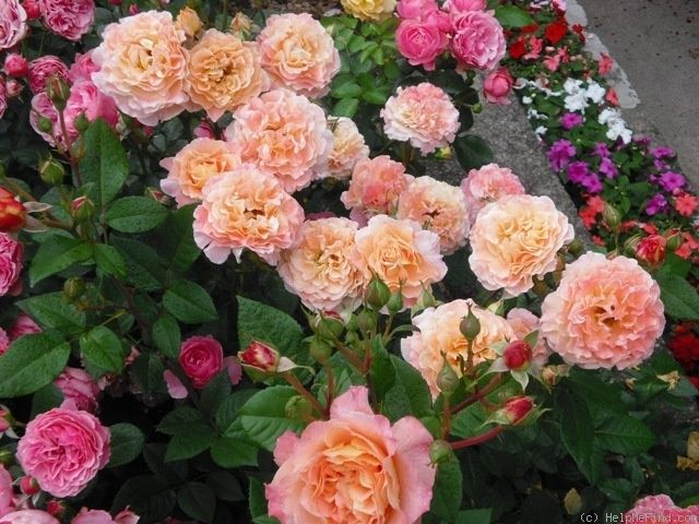 39 augusta luise 39 rose photo tantau roses pinterest. Black Bedroom Furniture Sets. Home Design Ideas