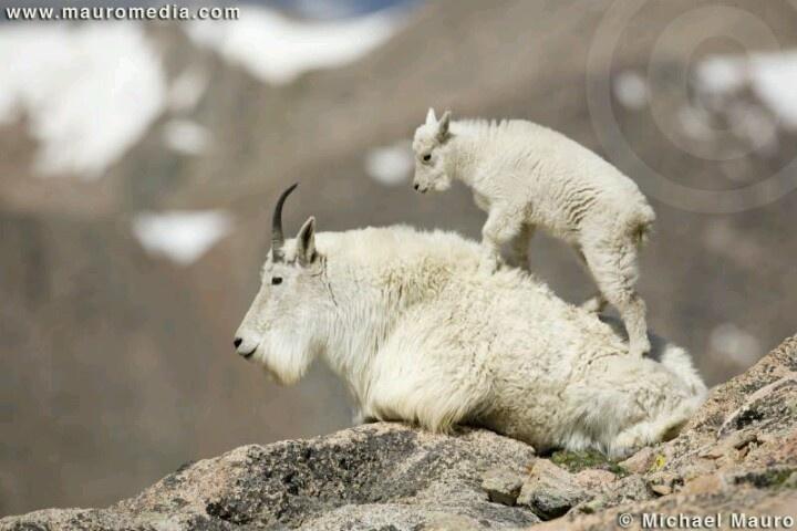 Mountain goat so freakin  cuteBaby Mountain Goat
