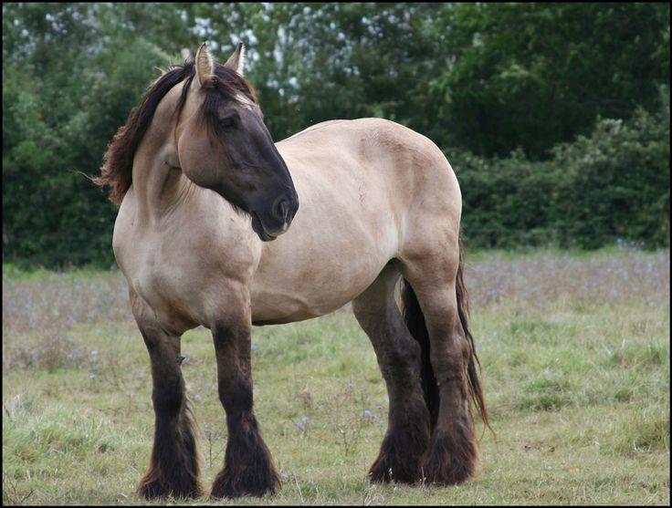 Mulassier (Poitevin) French draft horse