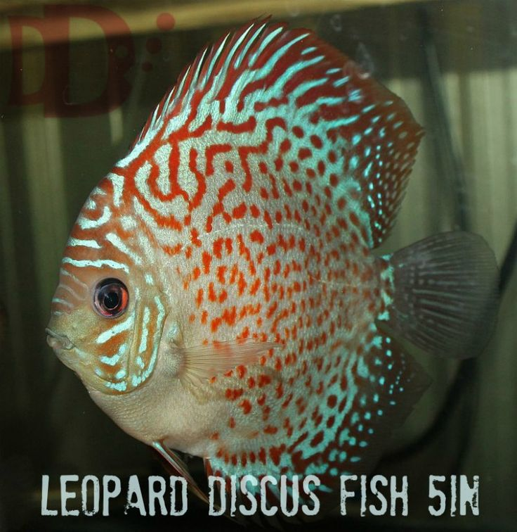 Discus fish for sale driverlayer search engine for Tropical fish for sale online