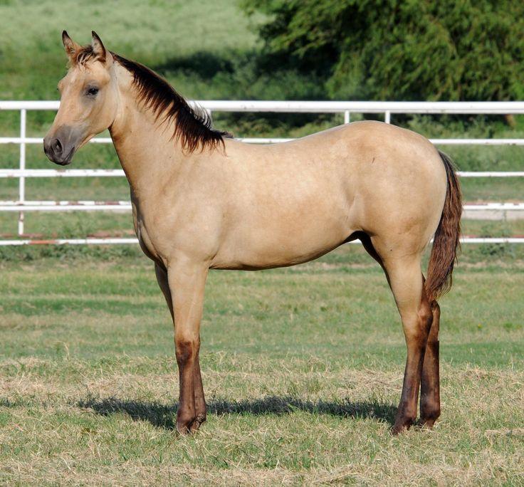 Pretty buckskin/dun quarter horse | My Future Horse ...