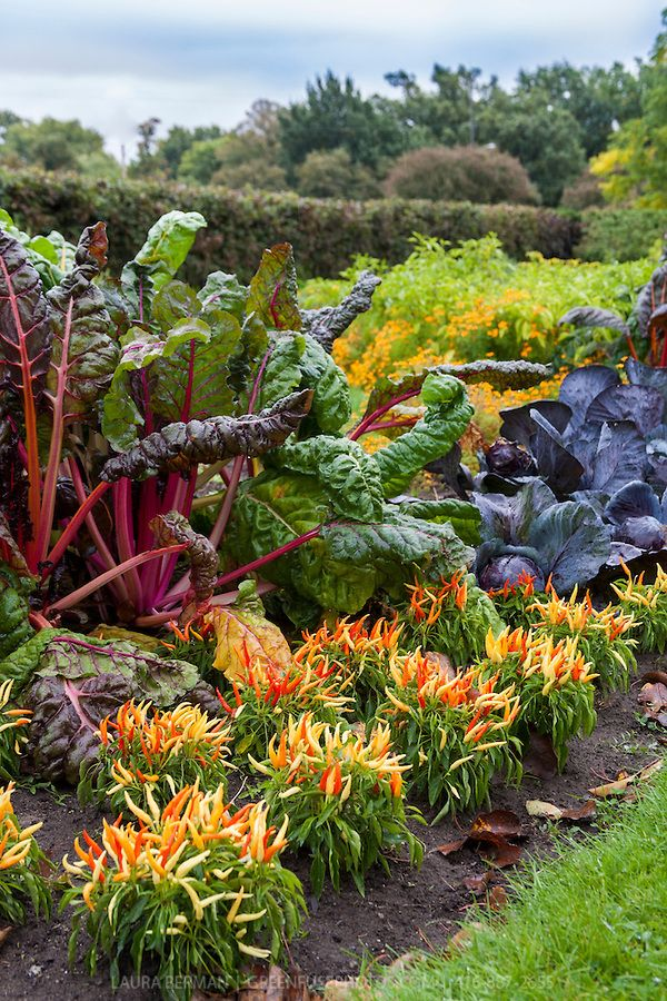 Bright Lights: chard, yellow, orange, and red Medusa ornamental hot peppers, and purple cabbages add color to a kitchen garden in early autumn.