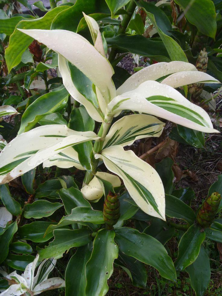 Amazon Ginger Plants (Costus amazonicus) Plants and Flowers Pinte ...