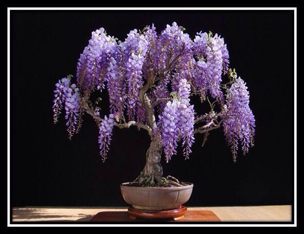 jacaranda bonsai bonsai pinterest. Black Bedroom Furniture Sets. Home Design Ideas
