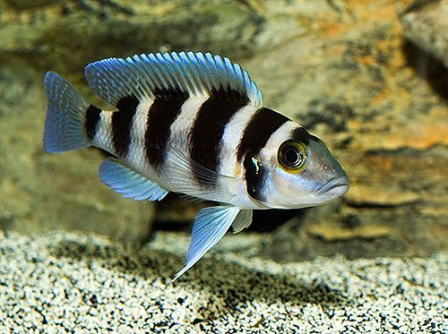 Rare african cichlids which cichlids should i get to put for Cold freshwater fish