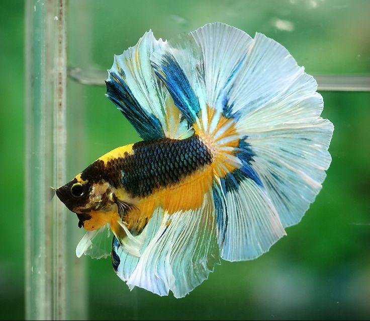 Fwbettashm betta fish pinterest for What is a betta fish