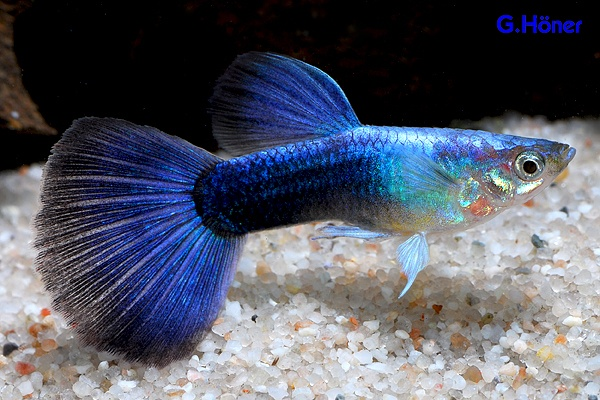 Blue moscow freshwater fish pinterest for Blue freshwater fish