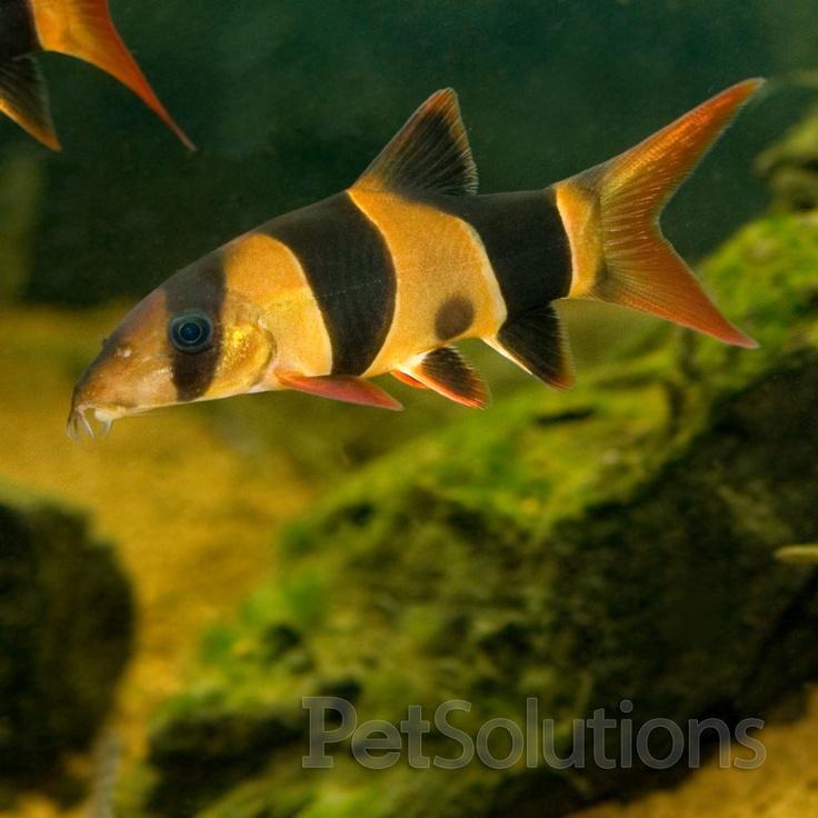 Clown Loach, Loaches PetSolutions Fish aquarium Pinterest