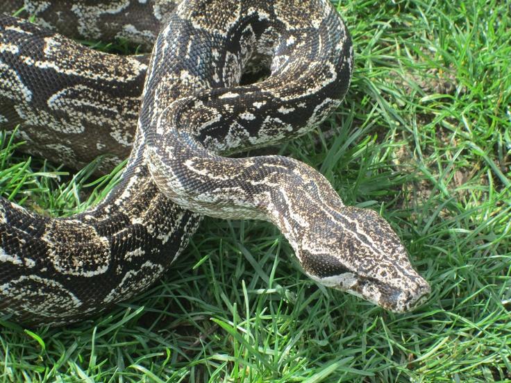 Argentina Boa | My snakes.