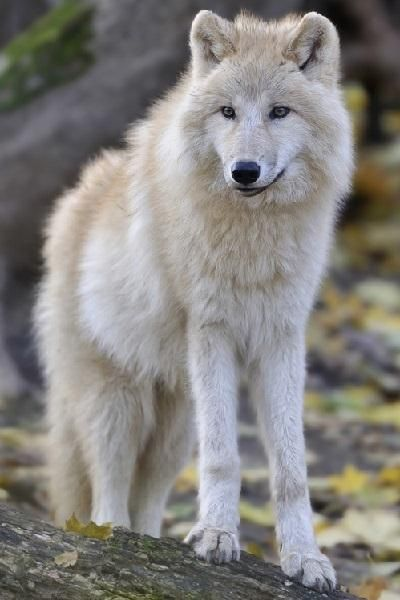 Find great deals on eBay for timberwolf dog. Shop with confidence.