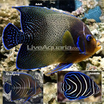 Koran angelfish - photo#12