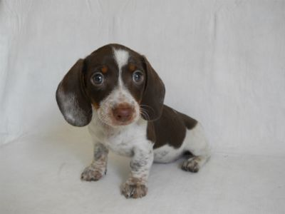 Cute little Piebald dachshund | Weenie Dogs