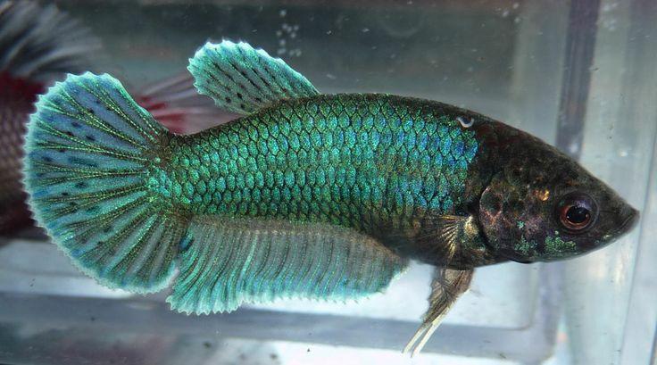 Young female live betta fish 07 for Ebay betta fish