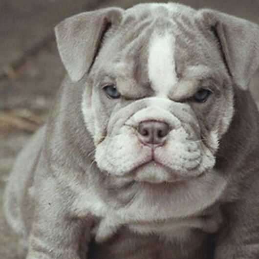 Grey English Bulldog Grey english bulldog (i hope