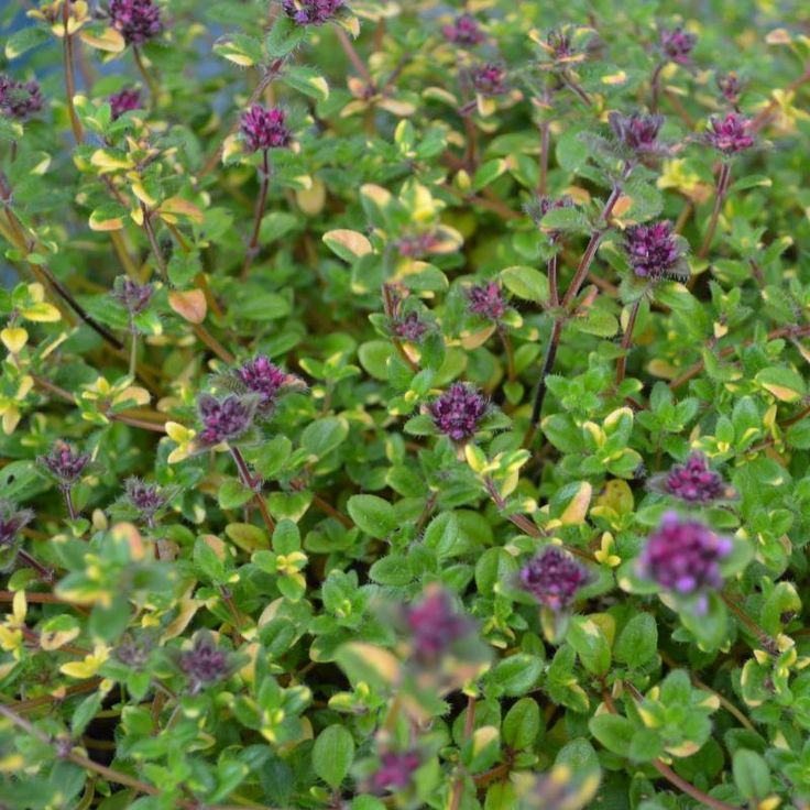 Thyme Rainbow Falls - A sun loving, ground hugging plant that forms an ...