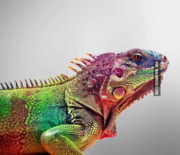 Amazing Colorful Chamilions: 23 Pics Of Most Amazing Colorful Lizards