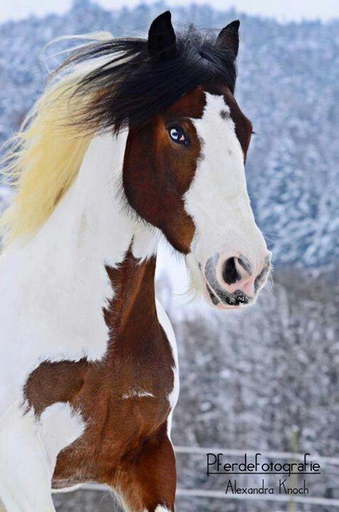 Beautiful Paint   HORSES!!!!!!!!   Pinterest