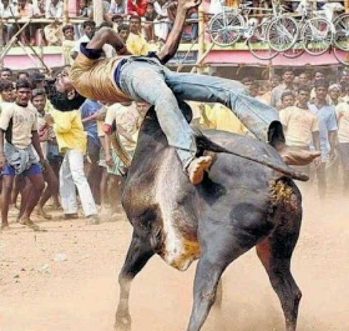 India's bull fighting Festival.