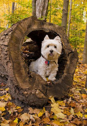 Ένα φθινοπωρινό Westie...