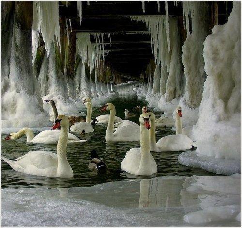 swans under icy bridge