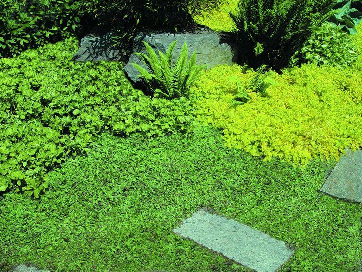 Leptinella Ground Cover Gardens Pinterest