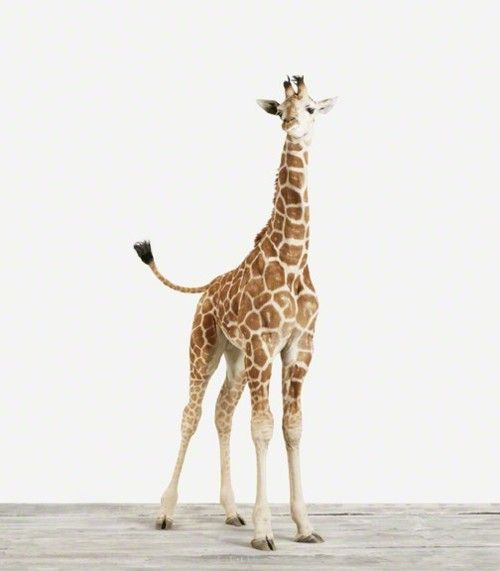 hi lil giraffe dude