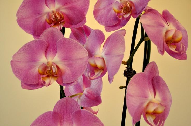 phalaenopsis orchidee orchids pink orchidee phalaenopsis. Black Bedroom Furniture Sets. Home Design Ideas