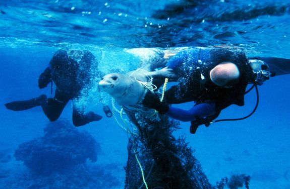 Daring Rescue  Credit: Ray Boland, NOAA/NMFS/PIFD/ESOD  Divers free a Hawaiian Monk Seal entangled in a lost fishing net in this 1997 photograph from the Northwestern Hawaiian Islands. Fortunately for this unlucky seal, the divers were successful. Marine litter remains a problem in the area more than a decade later, however. In July 2012, NOAA divers plucked 50 metric tons of marine debris out of the Pacific near the islands during a single clean-up mission.