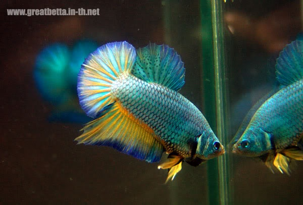 Halfmoon Plakat Betta just got one:D im inbetwwen naming him pebbles ...