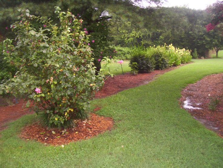 my pink long stem rose bush   outdoor living   Pinterest