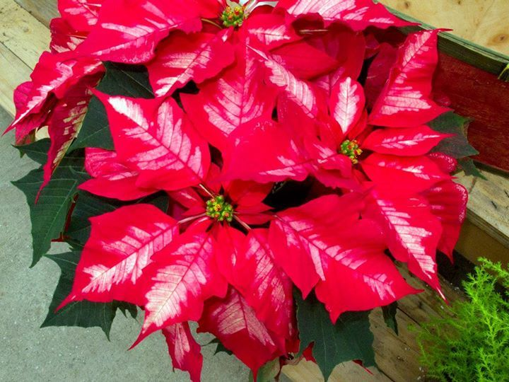 poinsettia 'Ice Punch' www.behnkes.com | December At Behnke Nurserie ...