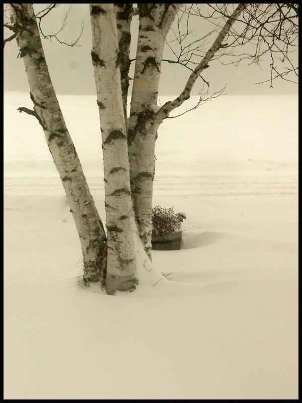 Paper Birch in winter ♥   Birch Trees ♥   Pinterest Pictures Trees In Winter Pinterest