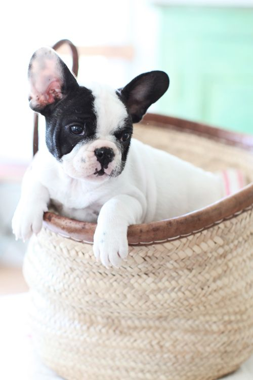 frenchie in a basket