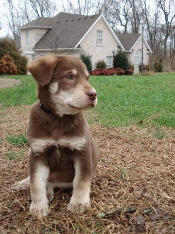 lab husky aussie mix - perfect pal for rusty & she'll keep him on his ...