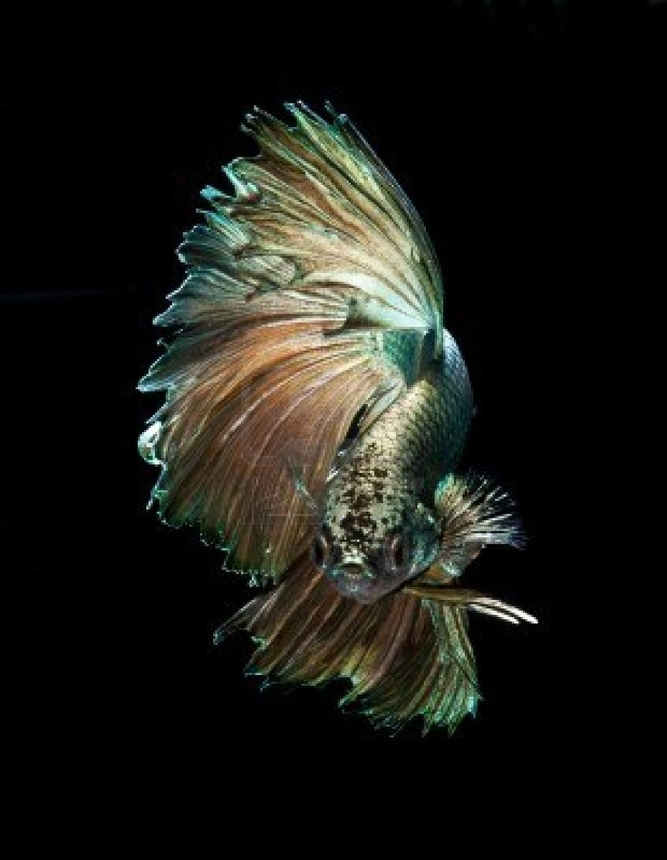 Pin by k l m 39 s on beta siamese fighting fish pinterest for Betta fighting fish